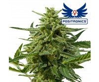 Northern Haze Express Autoflower (Positronics) 5 Samen