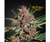 Bubba Kush (Greenhouse Seeds) 3 Samen