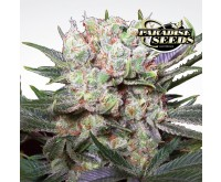 Californian Gold (Paradise Seeds) 3 Samen