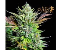 Green Gelato Automatic (Royal Queen Seeds) 3 Samen