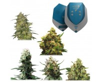 Medische Mix CBD Gefeminiseerd (5 zaden) Royal Queen Seeds
