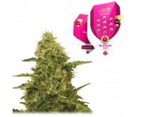 Northern Light (Royal Queen Seeds) 5 Samen