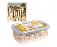 Magic Mushrooms Zucht-Set Golden Teacher (Ready-to-Grow Growkit)