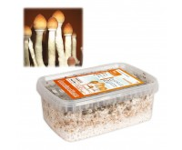 Zauberpilze Zucht-Set Thai (Ready-to-Grow Growkit)