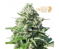 Royal Gorilla Automatic (Royal Queen Seeds) 3 Samen