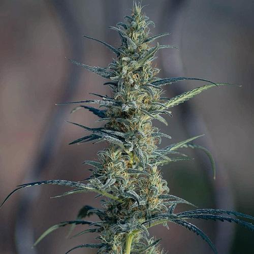 Candida CD-1 aus der Cannabispflanze Medical Marijuana Genetics