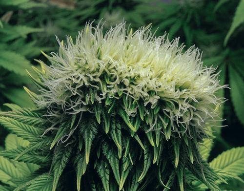 Polyploides Cannabis