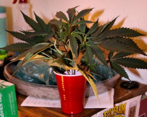 cannabisstecklinge